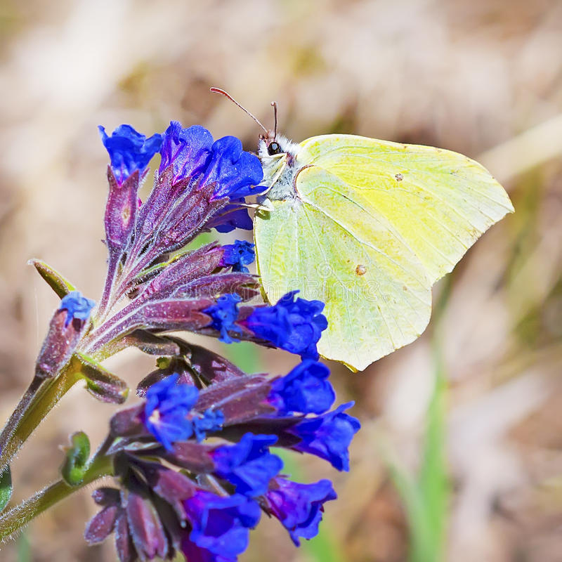 Day butterfly of Limonnits (Gonepteryx). The day butterfly of Limonnits (Gonepteryx) eats nectar from the softest (Pulmonaria dacica Simonk) blossoming Medunitsa royalty free stock photos