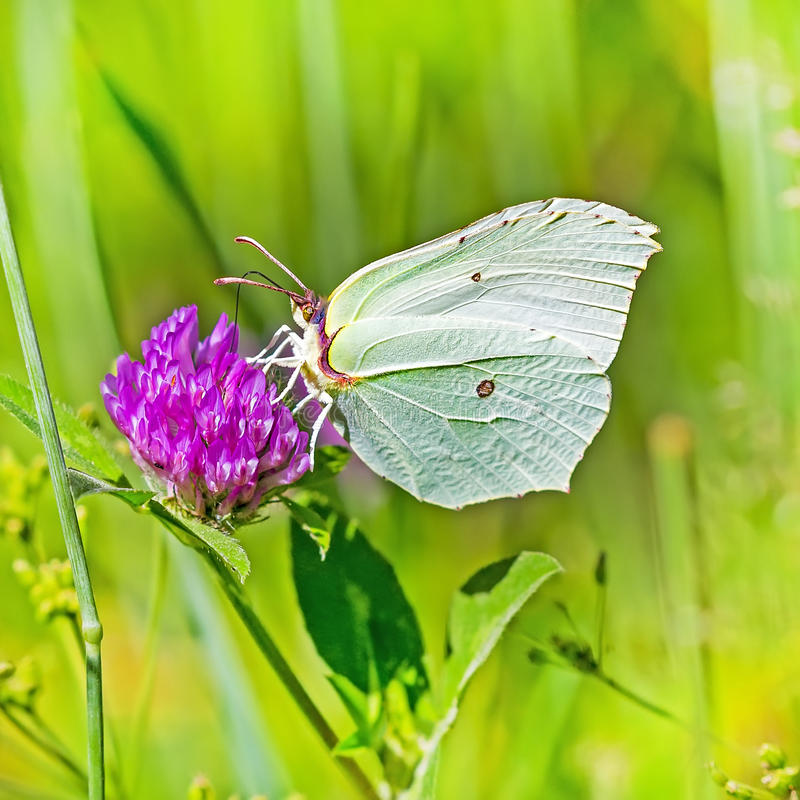 Day butterfly of Limonnits (Latin Gonepteryx). The day butterfly of Limonnits (Latin of Gonepteryx) on a flower collects nectar royalty free stock photography