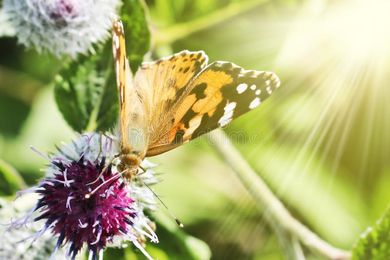 Day butterfly Painted lady Vanessa cardui sits on a burdock flower in Sunray and drinks nectar. With its proboscis royalty free stock image