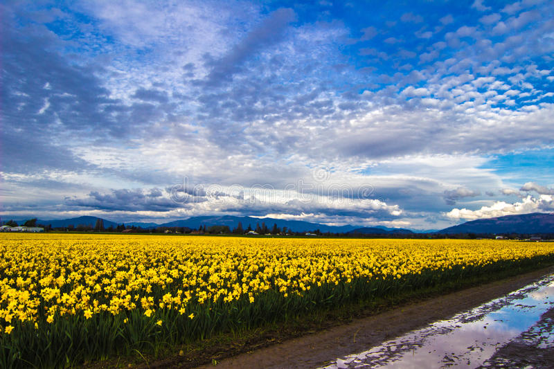 Day of the Daffodil. Gorgeous display of colorful daffodils under an amazing sky at a farm in the Skagit Valley of Washington stock photography