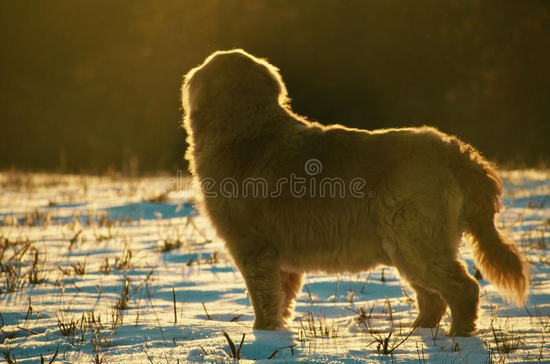 Sunset in winter with this pup in NH royalty free stock image