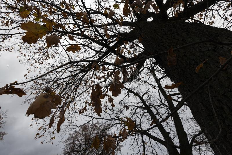 Day in fall. Trunk and a little oak leaves on a dark autumn day during a thunderstorm, closeup gloomy weather stock image