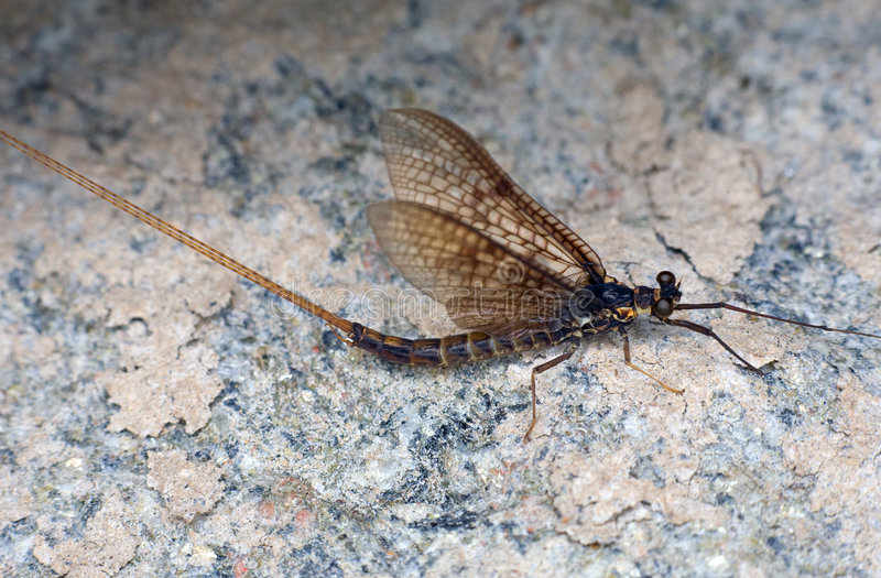 Day-fly. Sitting on a coastal stone royalty free stock images