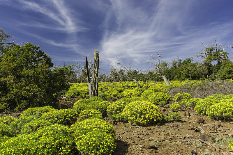 Day Forrest in Djibouti. Forrey du Day, the Day Forrest in the mountains of Djibouti, East Africa stock images