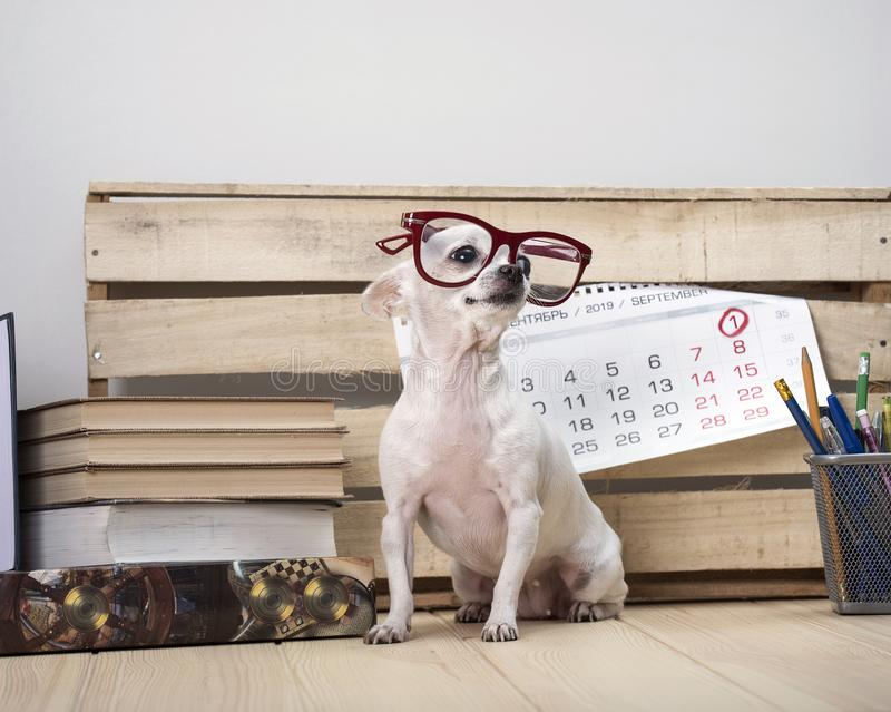 Chihuahua dog breed in glasses, among books and with a wall calendar royalty free stock photography