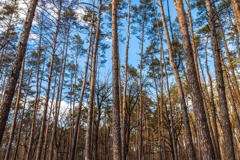 Day landscape of pine trees in the spring-summer forest, with a bright blue sky with clouds. Bottom view of the sky.  stock image