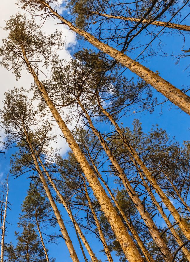 Day landscape of pine trees in the spring-summer forest, with a bright blue sky with clouds. Bottom view of the sky.  royalty free stock photo