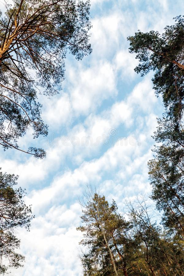 Day landscape of pine trees in the spring-summer forest, with a bright blue sky with clouds. Bottom view of the sky.  royalty free stock photography