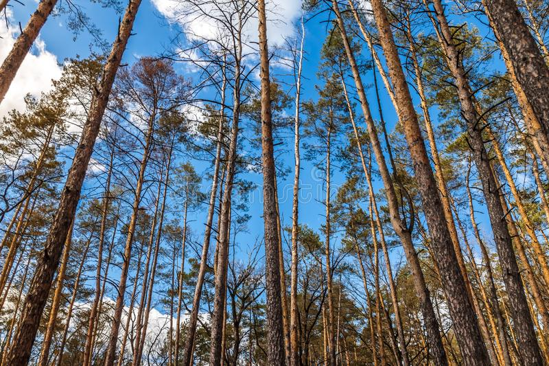 Day landscape of pine trees in the spring-summer forest, with a bright blue sky with clouds. Bottom view of the sky.  royalty free stock photos