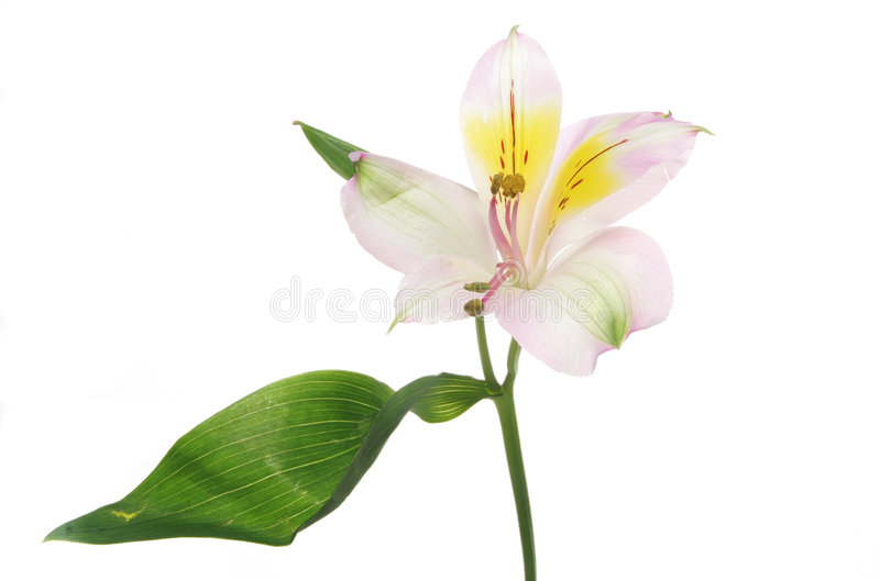 Day lilly stock photos
