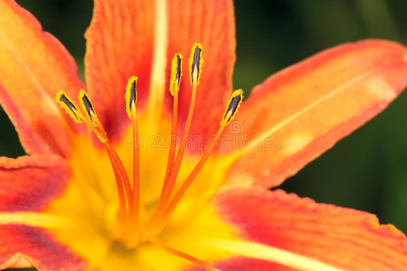 Day Lily Royalty Free Stock Photography