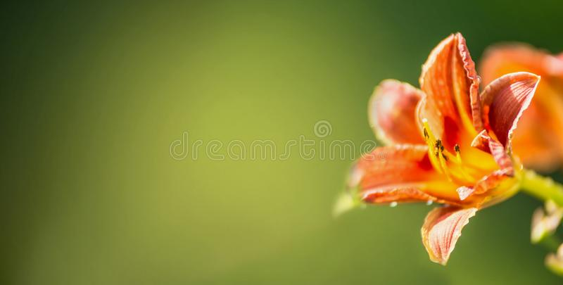 Day lily at green blurred nature background, banner stock photo