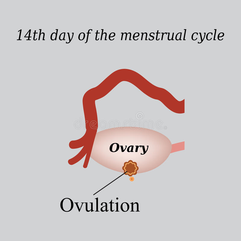 14 day of the menstrual cycle - ovulation. Vector vector illustration