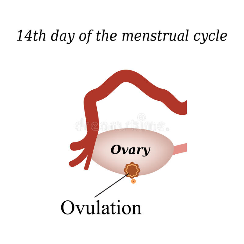 14 day of the menstrual cycle - ovulation. Vector royalty free illustration