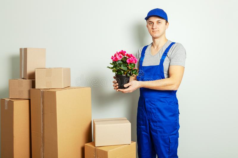 Day moving. Loader or courier carries cardboard boxes with flower in pot against gray wall royalty free stock photos