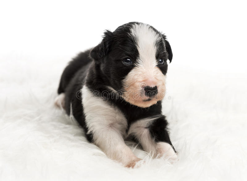 21 day old crossbreed puppy lying on white fur stock photography