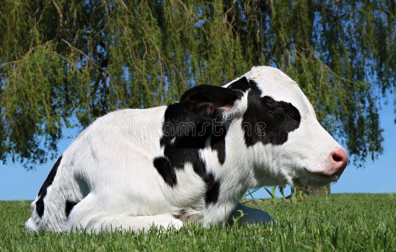 Sleepy newborn black and white calf laying ahead of willow branches. Day old Holstein calf laying in the grass in front of weeping willow tree stock images