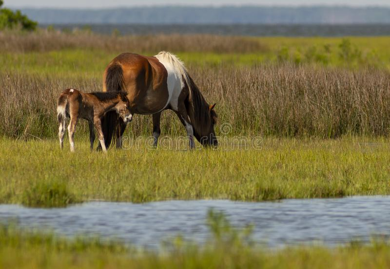 5 Day Old Wild Foal With Pony Mom at Assateague Island stock photos