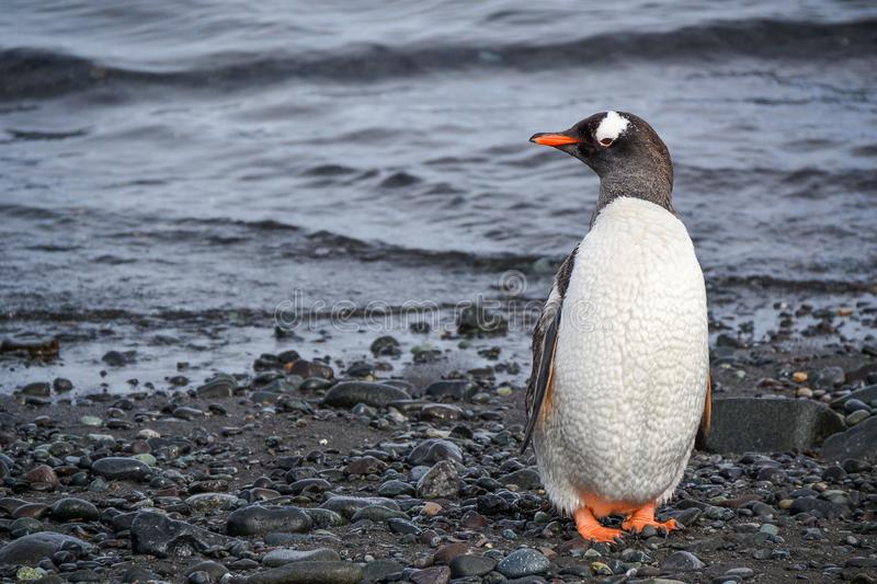 A gentoo penguin on the rocky shores of Antarctica. A day at sea with bountiful supplies, a satisfied thirst for exploration and a family awaiting return, leaves royalty free stock photo