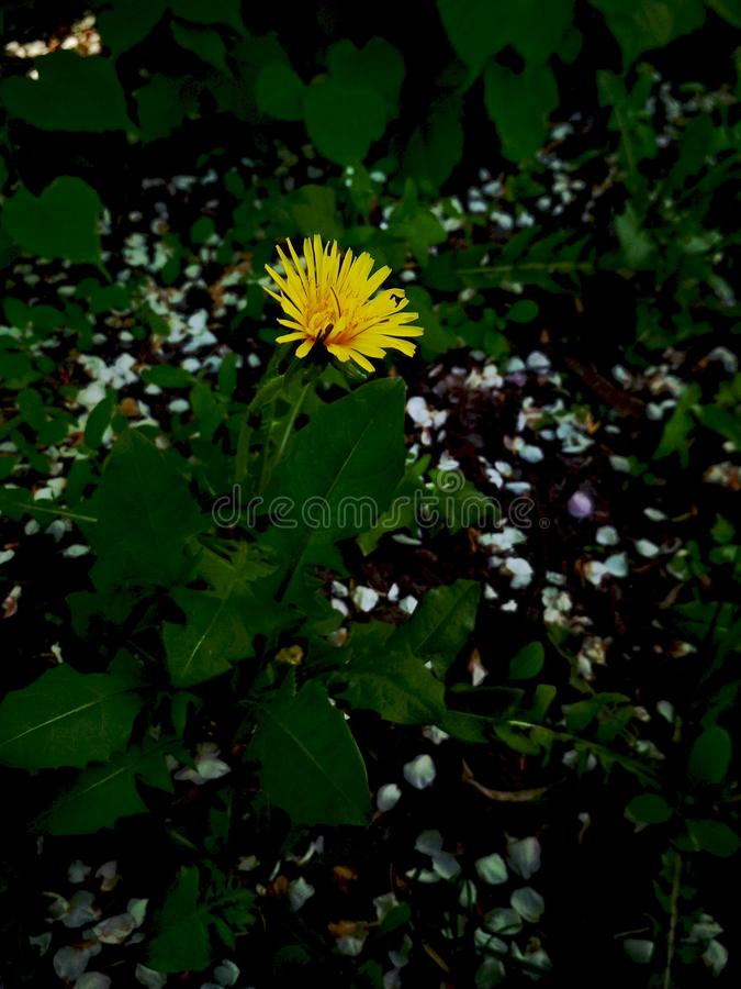Lonely dandelion in the forest close up. This photo was made in Ukraine, namely in Kiev. The photo shows a small lonely dandelion in the forest close up royalty free stock photography
