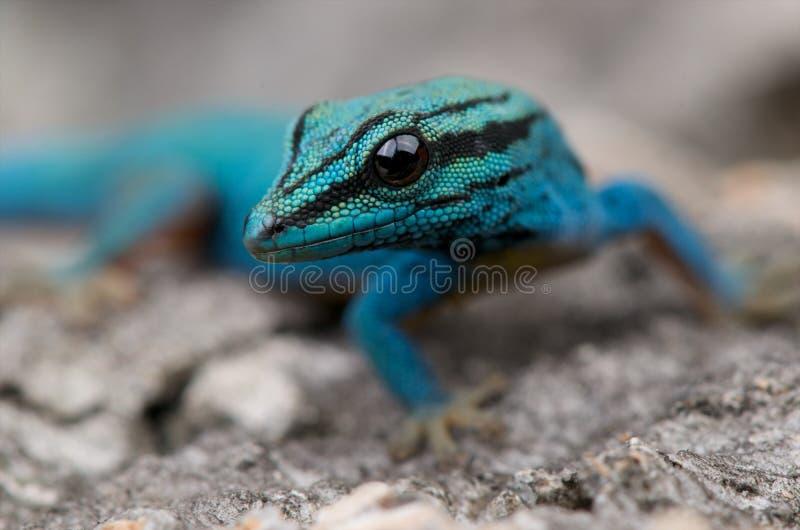Daygecko bleu électrique photographie stock libre de droits
