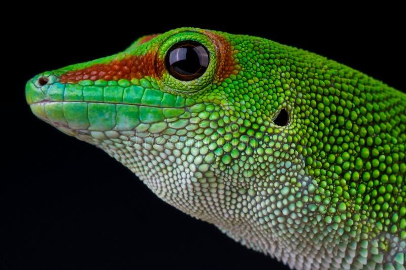 Daygecko do gigante de Madagascar imagem de stock royalty free