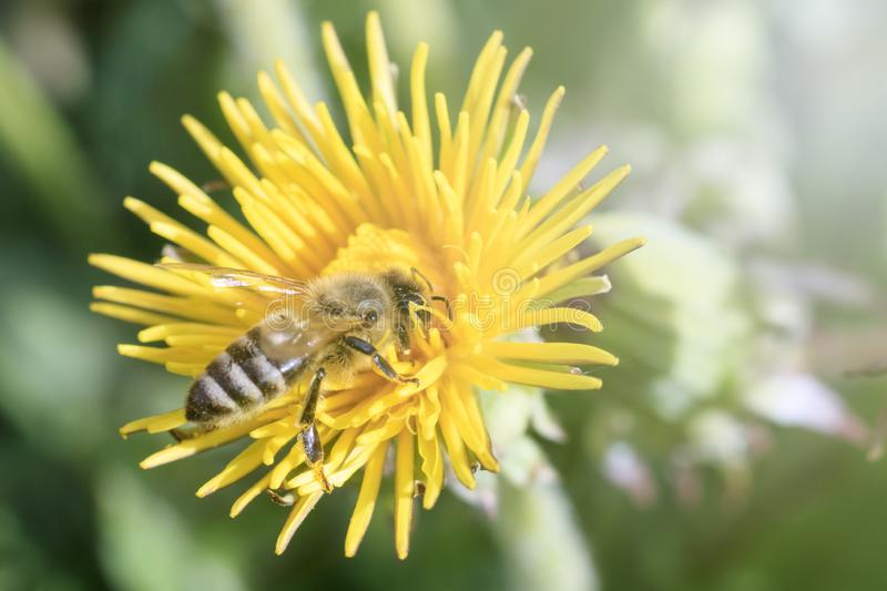 Daylight. bee closeup on dandelion. have toning. shallow depth of cut. Flower, summer, nature, leaf, spring, animal, insect, macro, honey, meadow, pollen royalty free stock photography