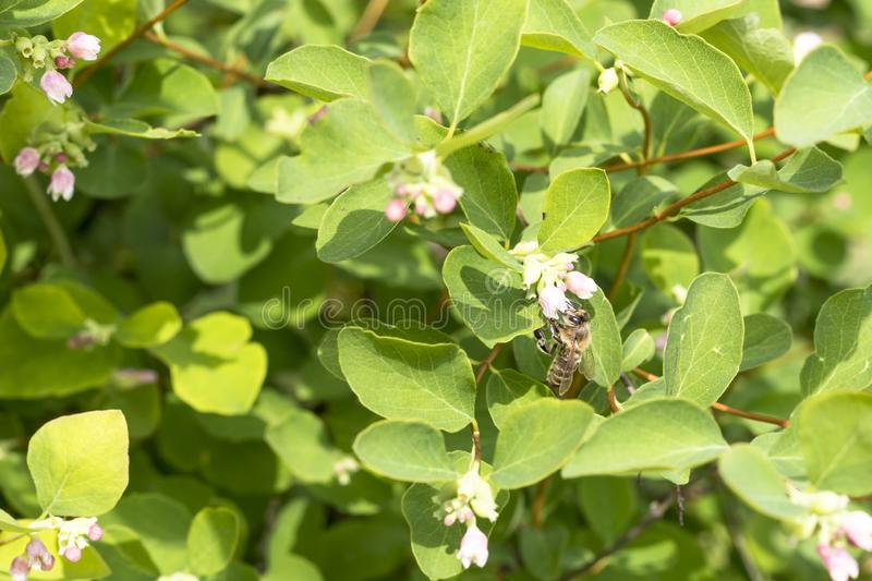 daylight. a bush with flowers all in bloom. the bee collects honey and pollinates the bush stock photo