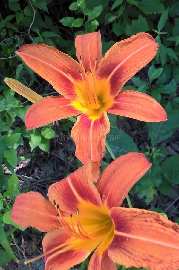 Daylilies obrazy royalty free