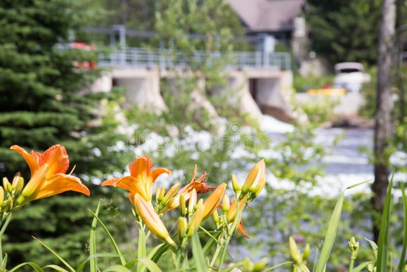 Daylilies en parcs au barrage de Baysville photos libres de droits