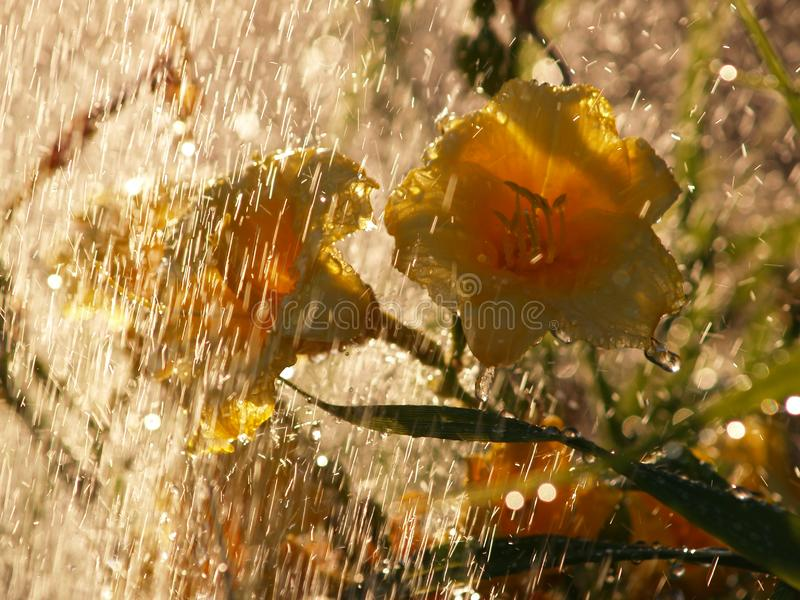 Emerocallidi gialli nella pioggia immagini stock libere da diritti