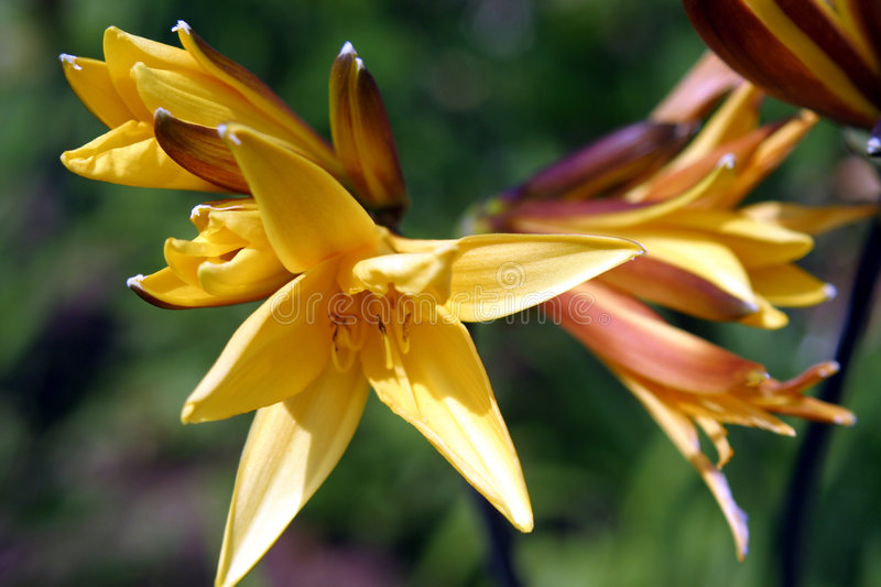 Daylilies giallo immagine stock