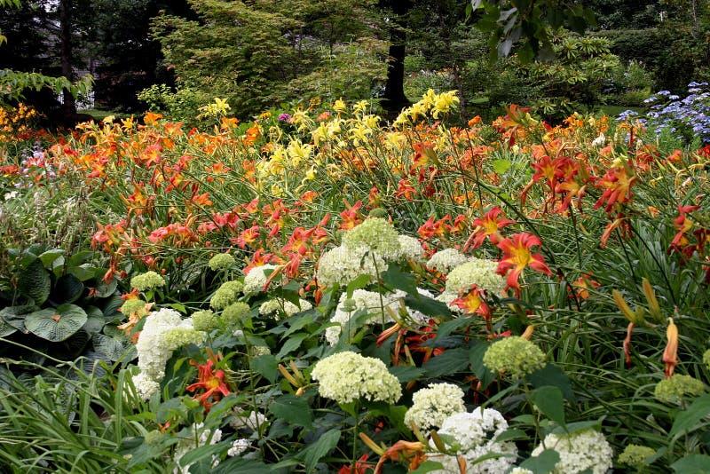 daylilies hortensje zdjęcie stock