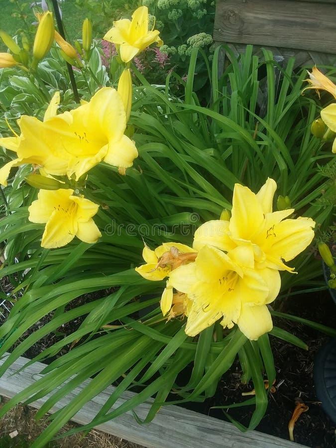 Daylilies jaune photographie stock libre de droits