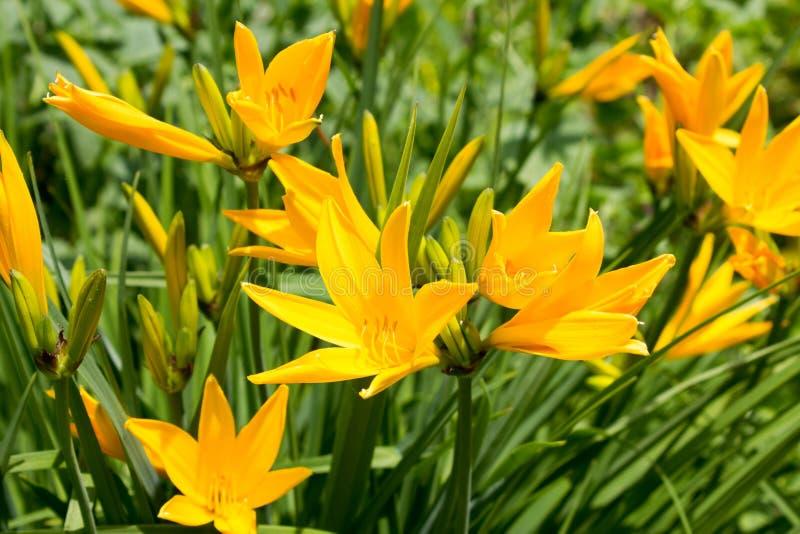 Daylilies jaunes (middendofii de Hemerocallis) fleurissant dans un jardin photographie stock libre de droits
