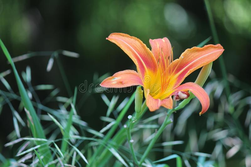 Daylily, оранжевое fulva Hemerocallis стоковая фотография