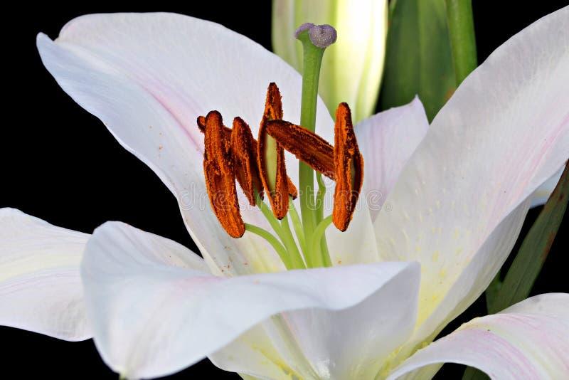 Download Daylily arkivfoto. Bild av medf8ort, blommor, garnering - 27288536