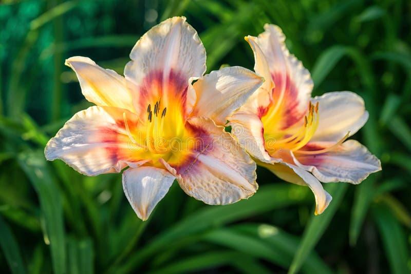 Daylily stock afbeeldingen
