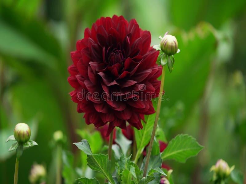 Daylily bloeiend, Terry Daylily, daylily rode, macrobloemen, mooie mooie bloemen Bloemen royalty-vrije stock afbeeldingen