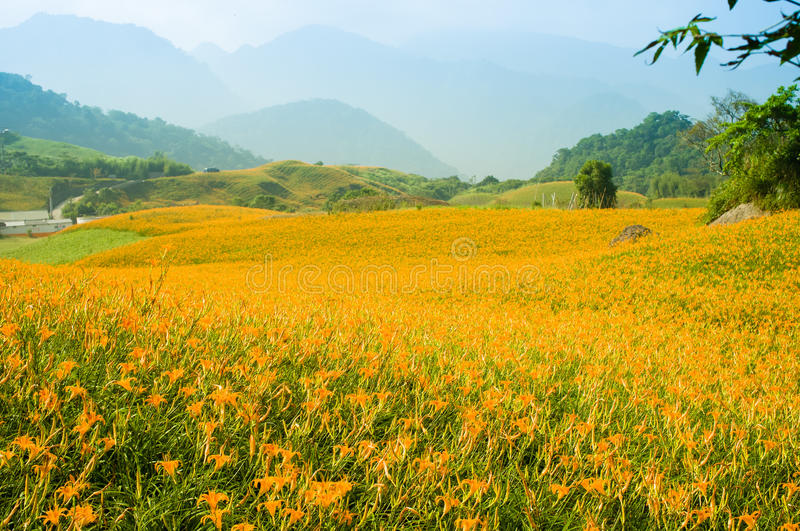 Daylily flower hill stock image