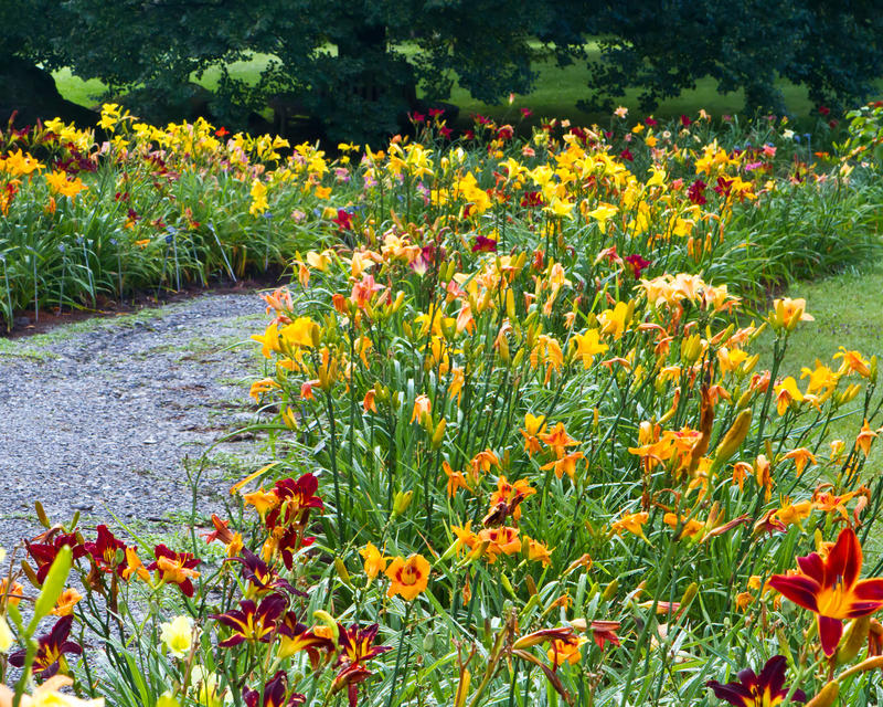 Download Daylily garden patjh stock image. Image of blossoming - 27041859