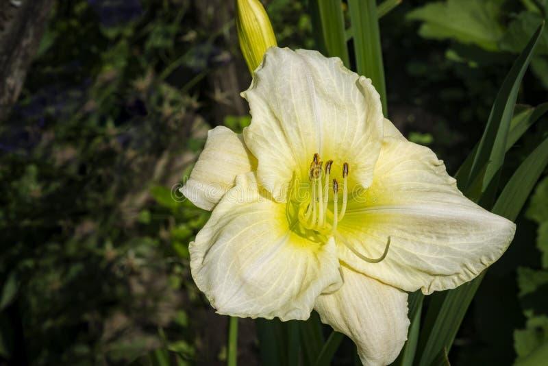 Daylily, Hemerocallis-Blume lizenzfreie stockfotografie