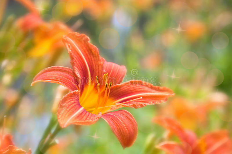 daylily orange arkivbilder