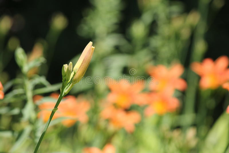 Daylily, pomarańcze & x28; Hemerocallis fulva& x29; obrazy stock