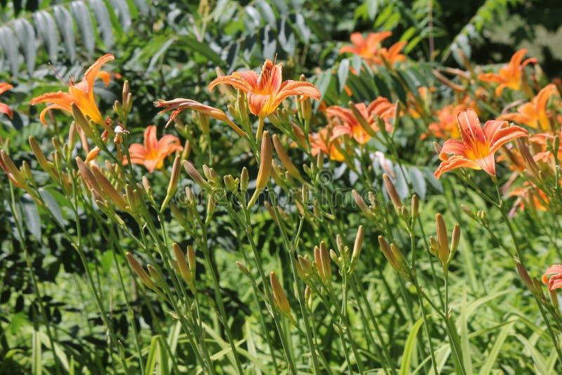 Daylily, pomarańcze & x28; Hemerocallis fulva& x29; zdjęcie royalty free