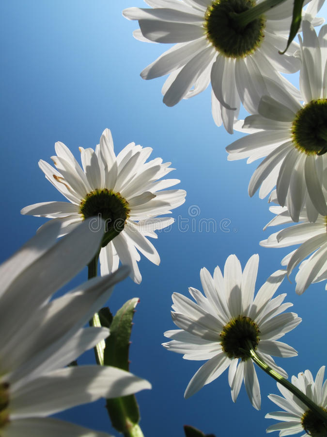 Download Daysies over sky stock image. Image of close, macro, high - 9955519