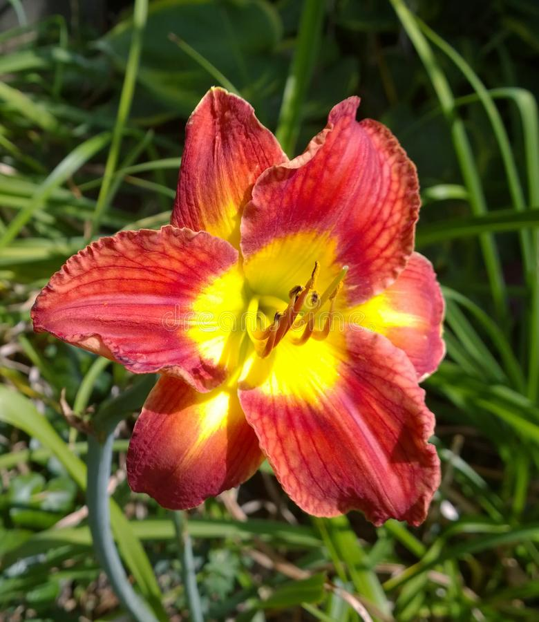 Daytime Colors. Red and yellow daylilly in full bloom stock photos
