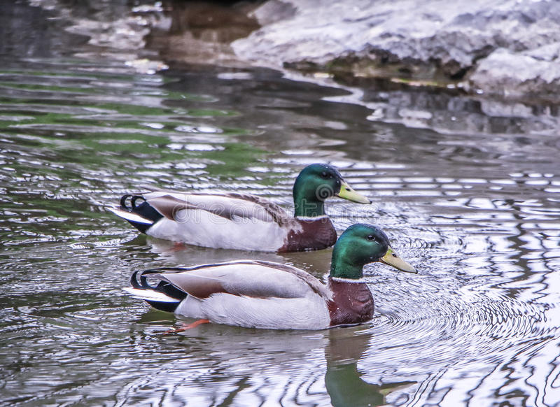 Daytime exterior stock photograph of two mallard ducks in Spring swimming in pond at Glen Falls stock images