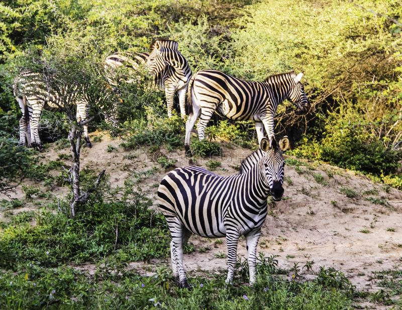 A dazzle of Burchell`s zebra royalty free stock photos