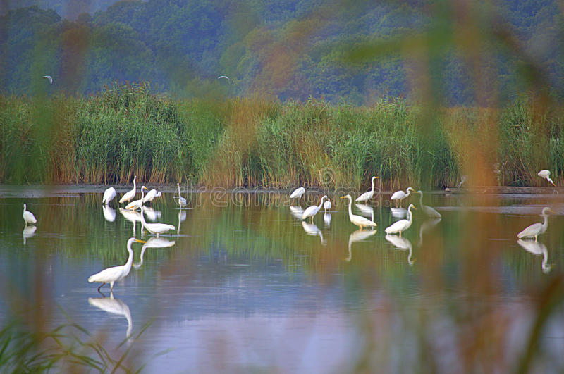 Stunning white great egrets in lagoon stock photo